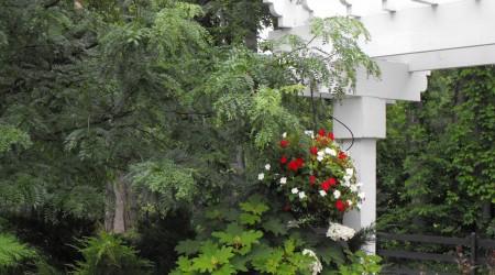 Oakleaf Hydrangea & Honeylocust beside Pergola