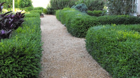 Green Gem Boxwood Hedge