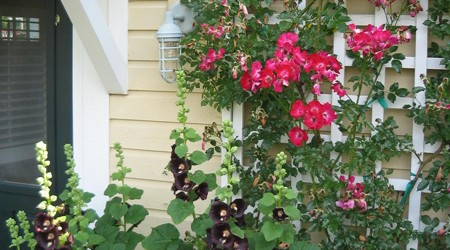 Dortmund Rose & Black Hollyhock