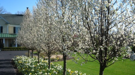 Cleveland Select Pear Tree & Daffodils